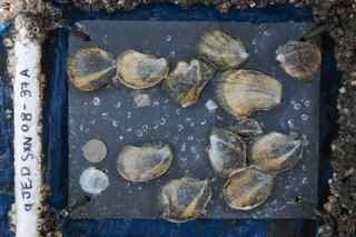 Oysters growing on slate tile