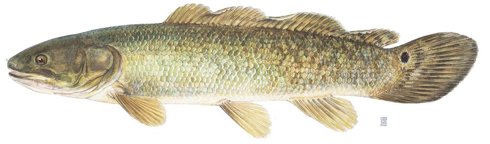 Bowfin Fish | Bowfin Family Amiidae