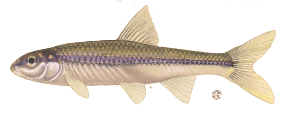 Cyprinids fish : Types Of Freshwater Minnows minnow family cyprinidae