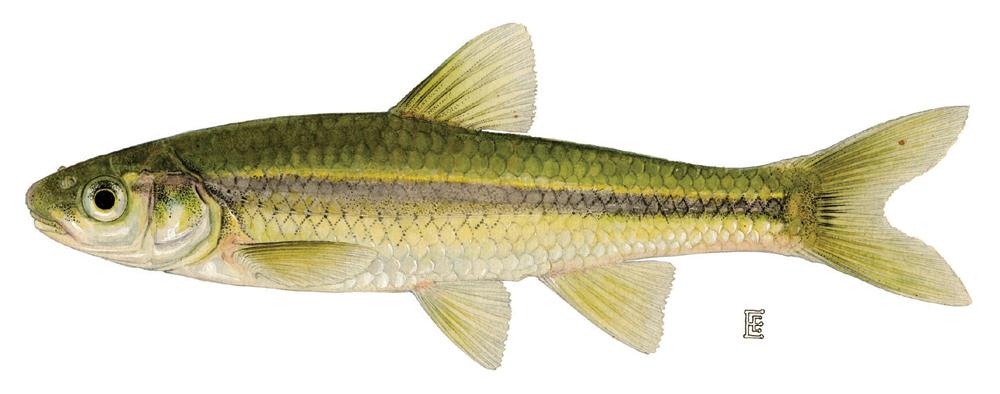 Minnow Family Cyprinidae