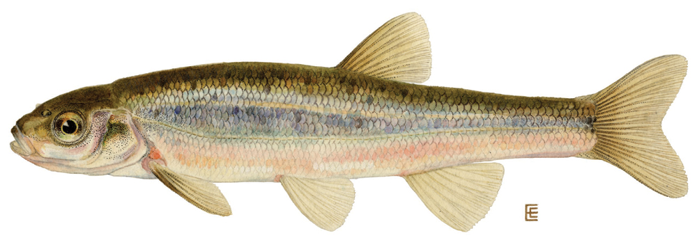 dace a dace is any of a number of species of small fish the unmodified ...