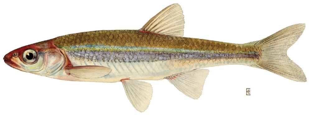 Cyprinidae; Godiao; Bordalo; Ruivaca; Barbos; Escalo; Leucisco ...