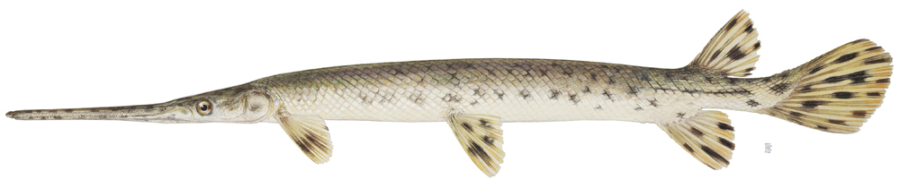 Fish With Long Nose | Gar Family Lepisosteidae