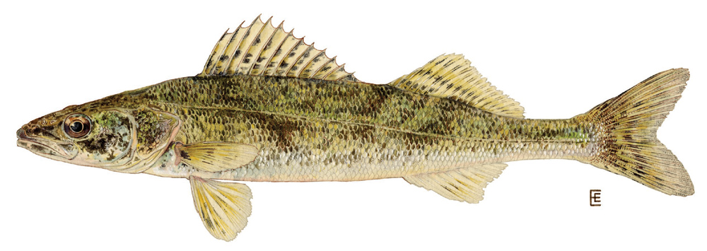 Sauger fish photo and wallpaper. Cute Sauger fish pictures
